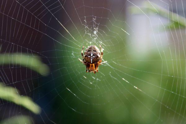 Kruiskopspin in spinnenweb