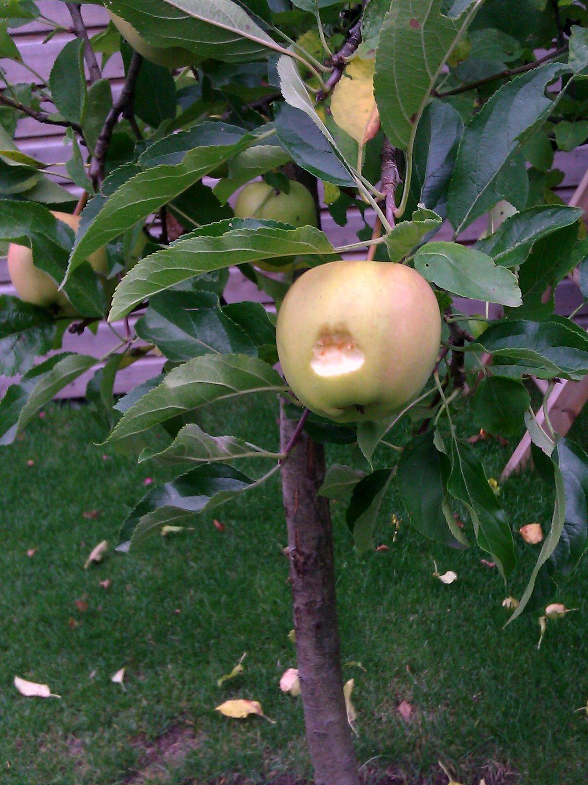 Hap uit appel aan boom